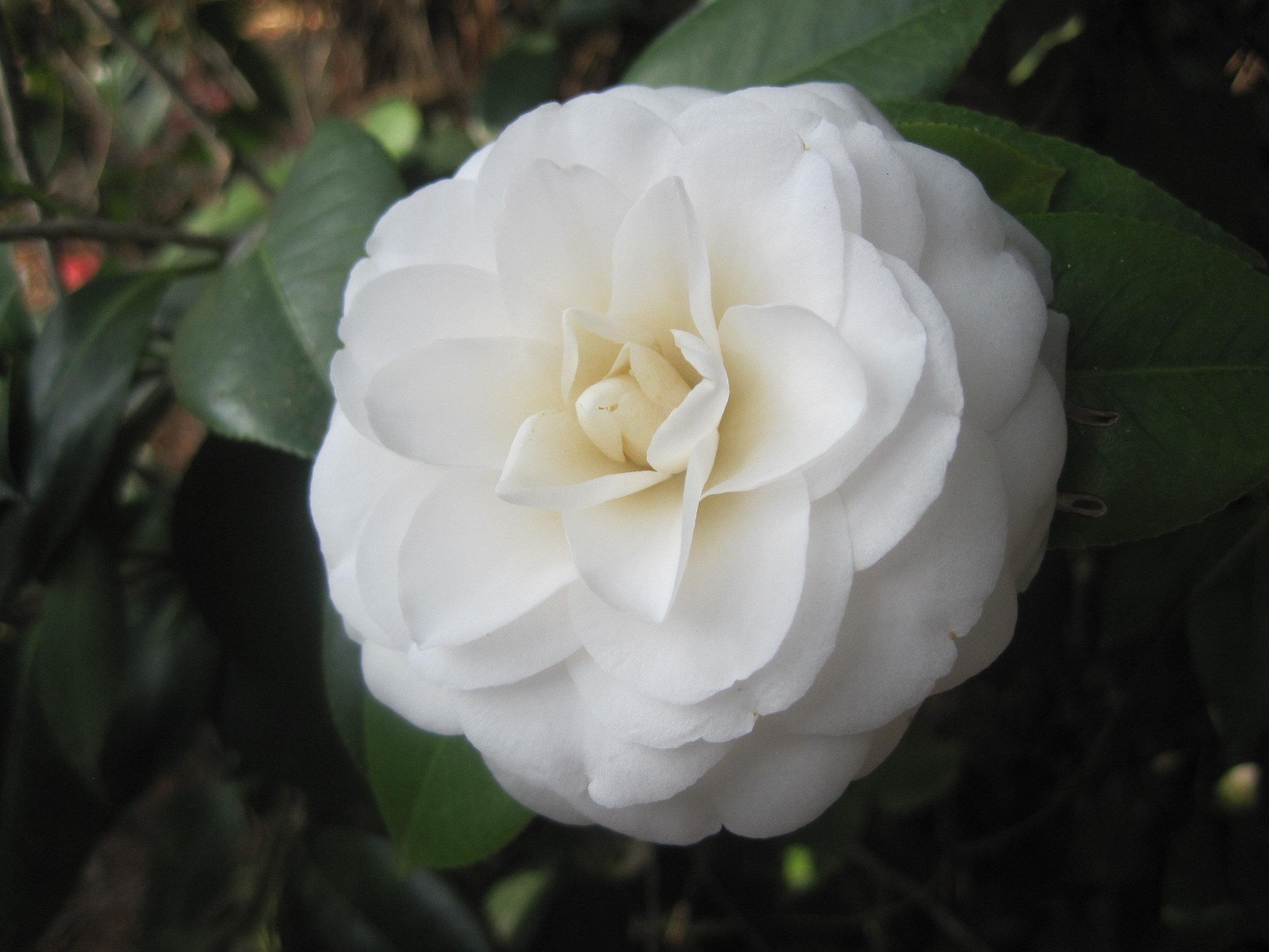 File Camellia Japonica White By The Gate Jpg Wikimedia Commons