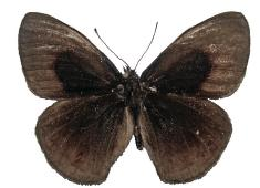Calisto muripetens male upper side.JPG