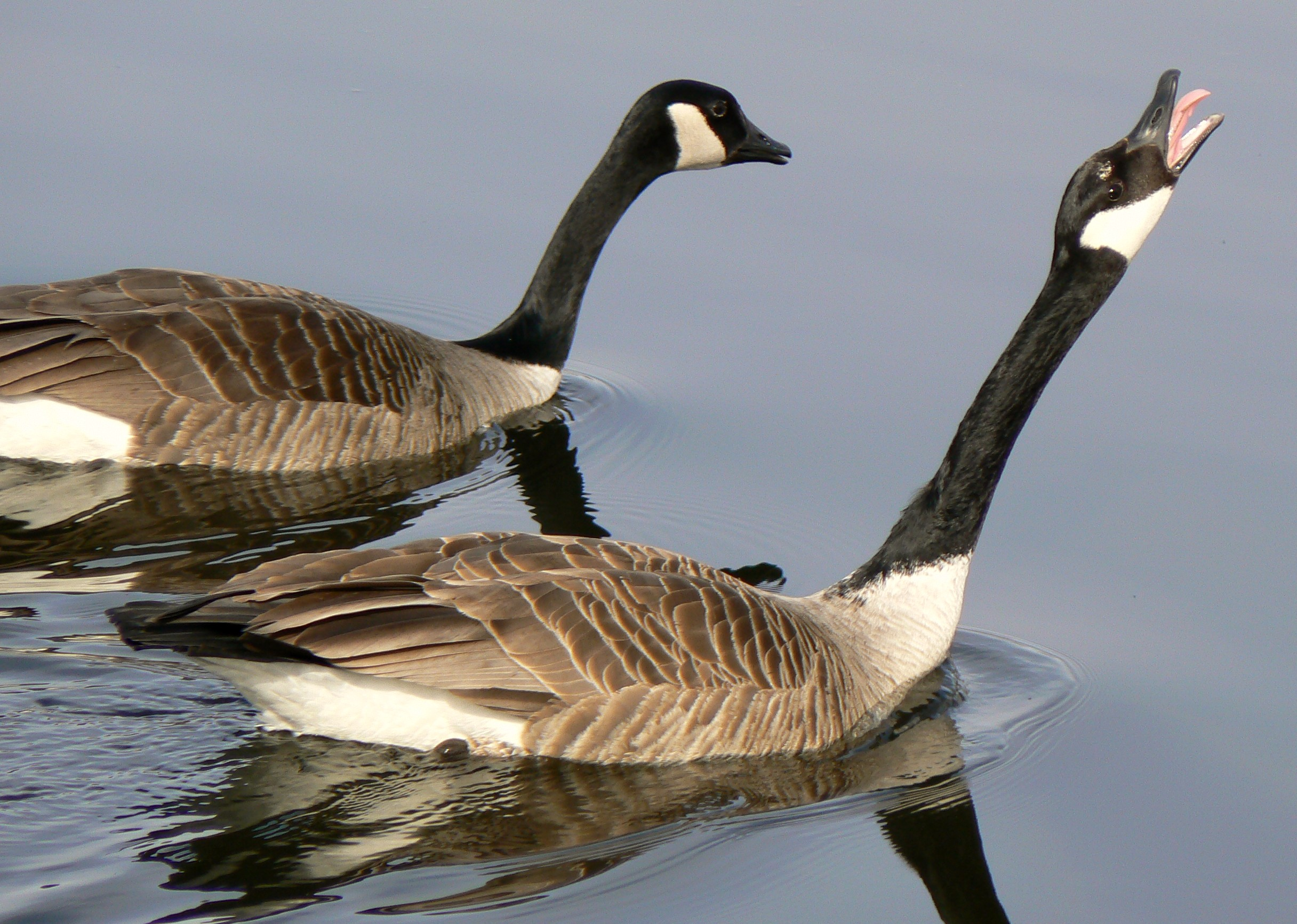 Description canada goose mating ritual2
