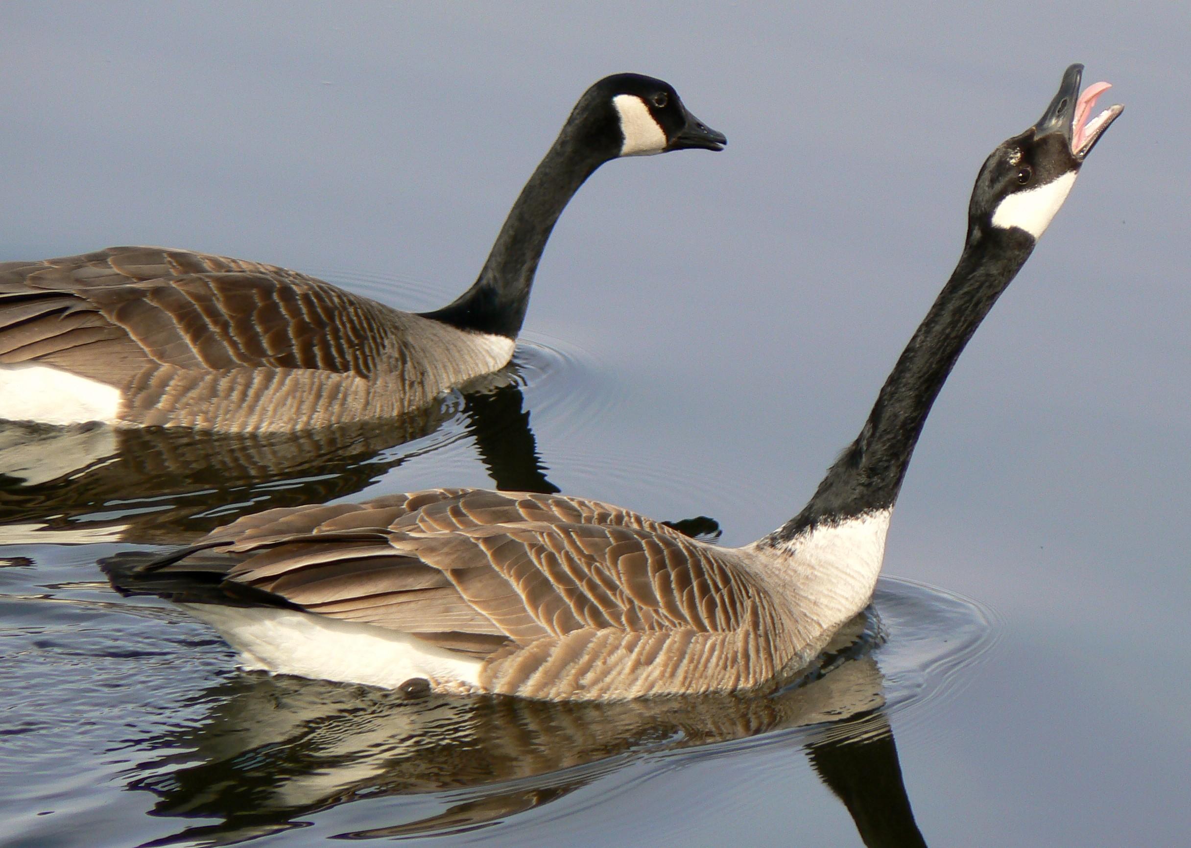 Description canada goose mating ritual2