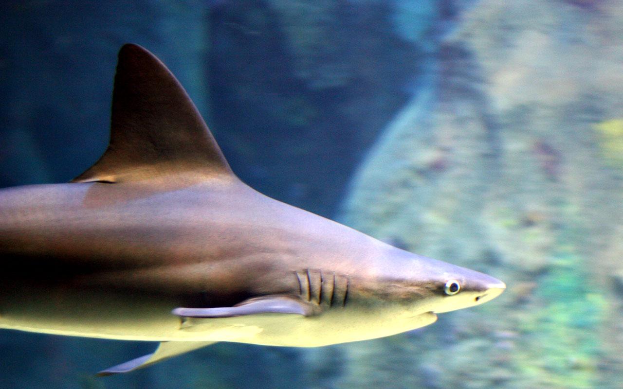 Carcharhinus plumbeus front.jpg