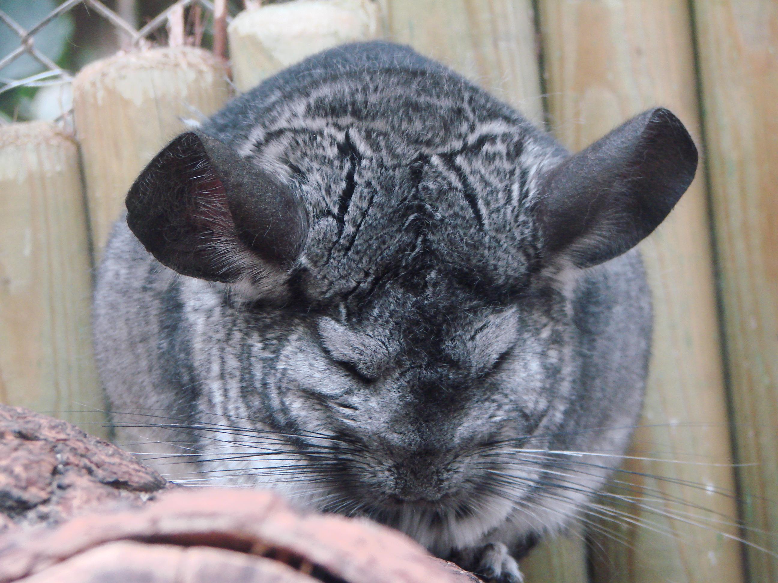 File:Chinchilla lanigera (Wroclaw zoo)-1.JPG - Wikimedia ...