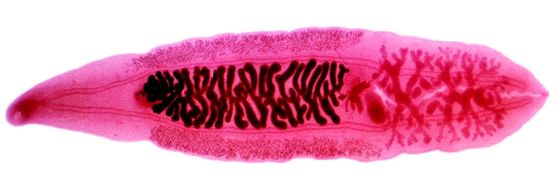 clonorchis parazita