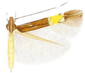 <i>Cosmopterix clemensella</i>