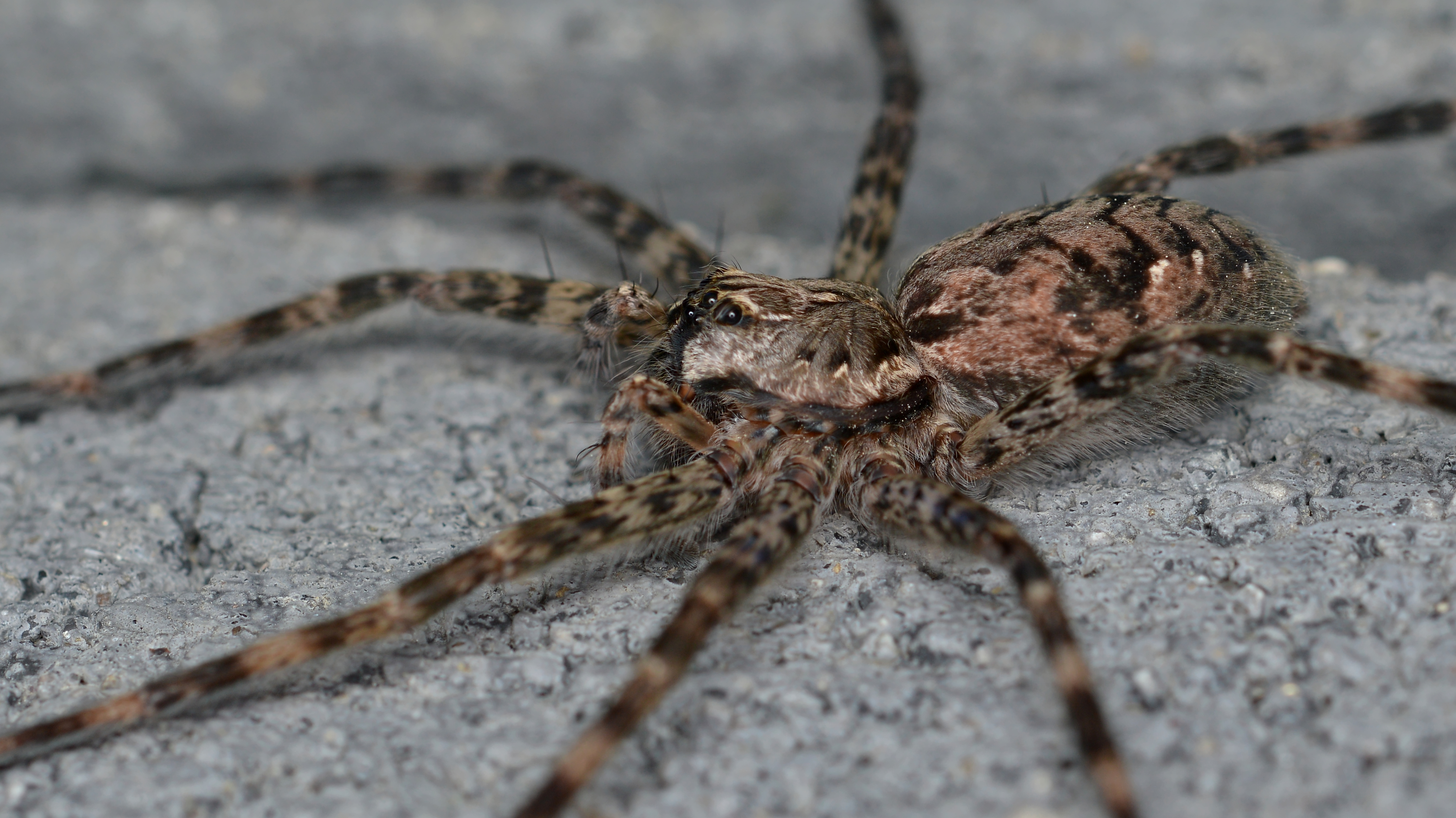 File dark fishing spider dolomedes tenebrosus guelph for Fishing spider michigan