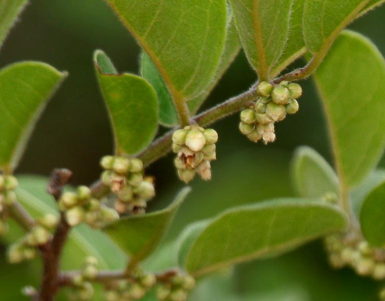 Ajang Kelicung merupakan tumbuhan peralihan khas Nusa Tenggara Barat