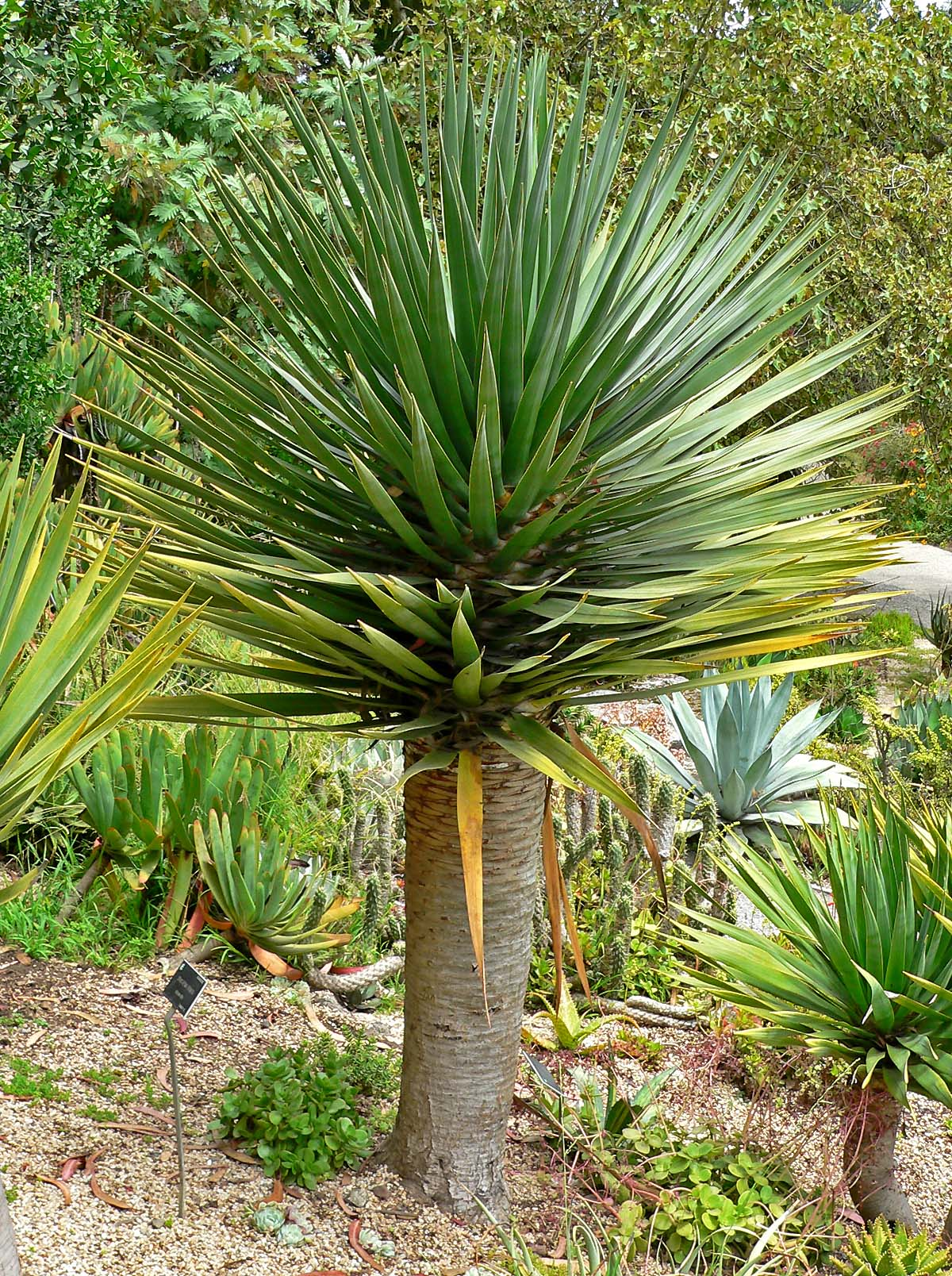 Plantwerkz dragon tree dracaena draco for Plante dracaena