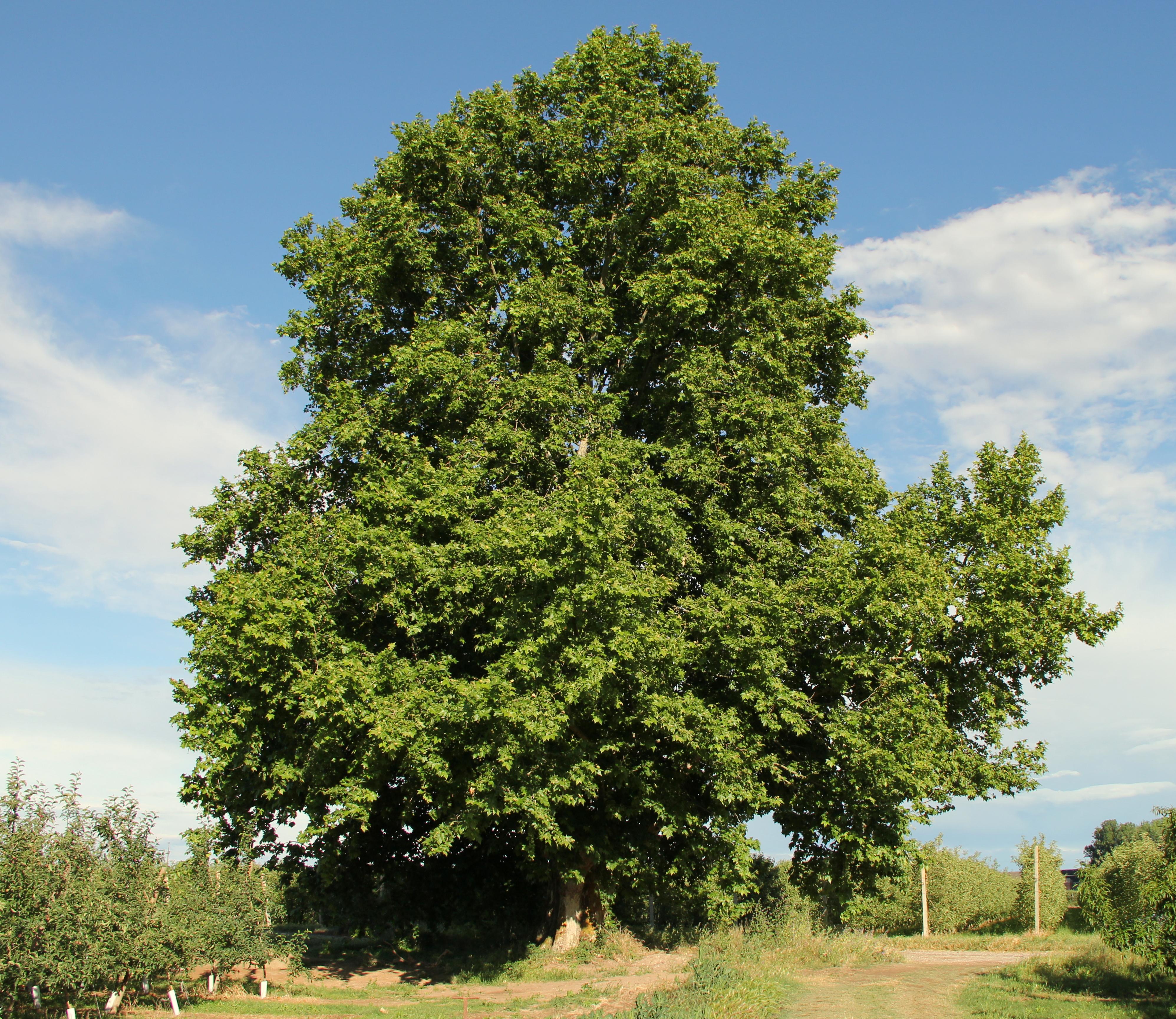 Spot arbre fabulous xylosteum baies de des haies sur for Spot eclairage arbre exterieur