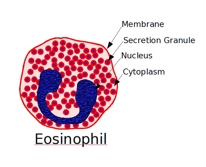 Imagen que muestra un eosinófilo señalando sus partes