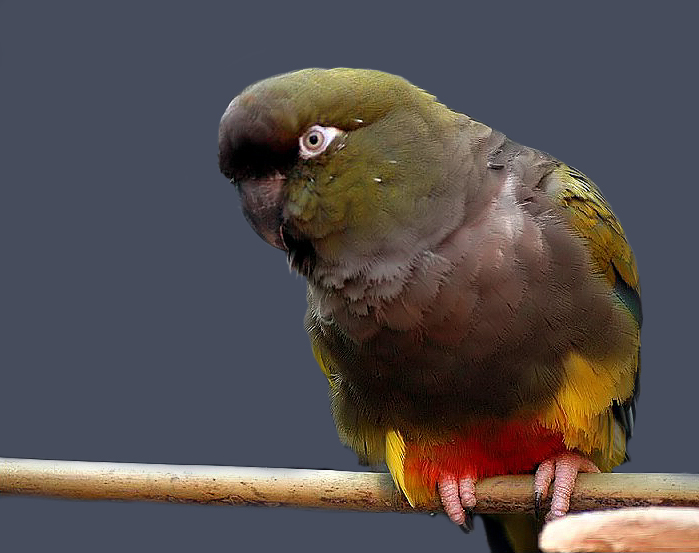 The Patagonian conure or burrowing parakeet is one of the largest types of conures
