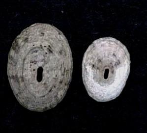 File:Fissurella coarctata 001.jpg