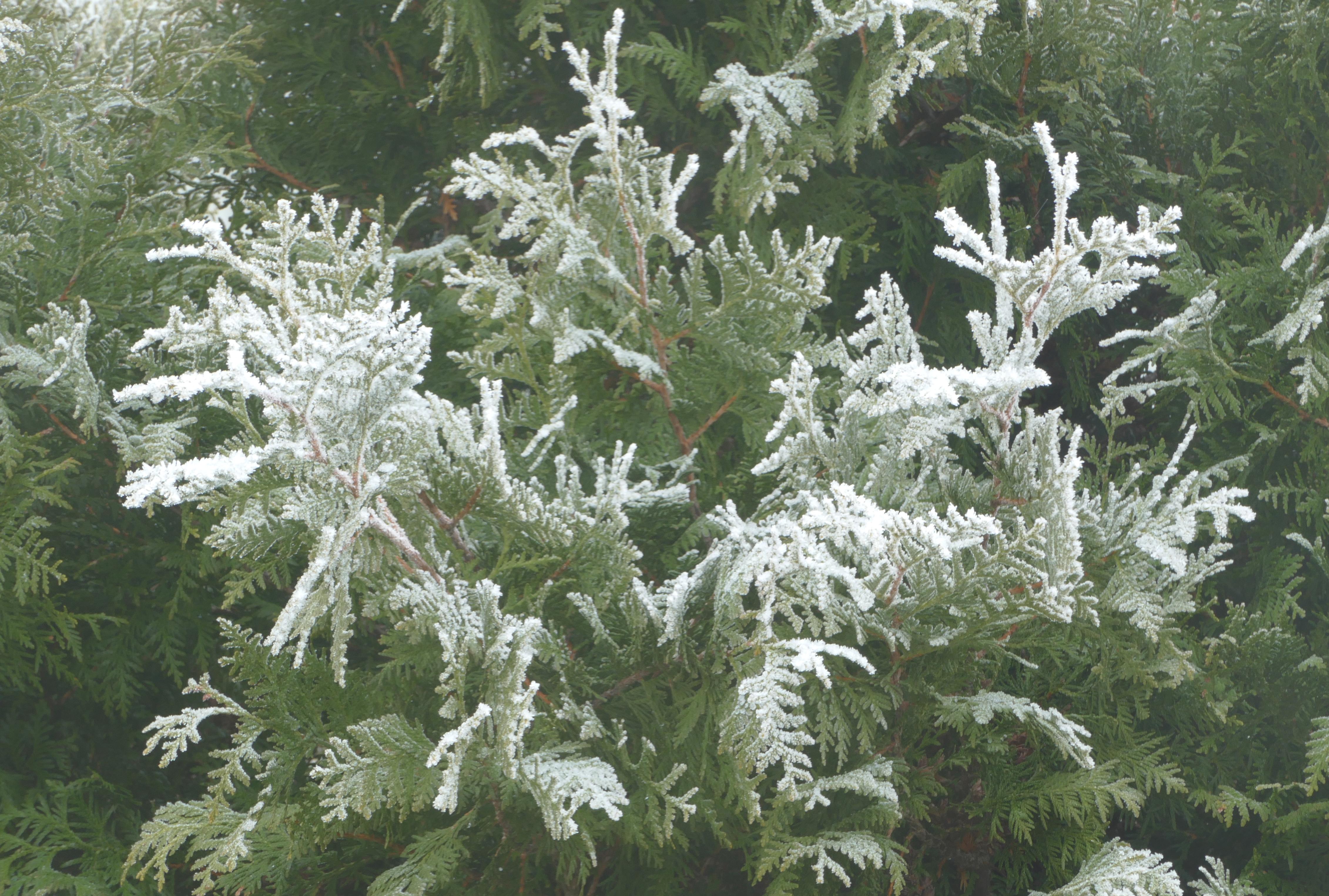 Filefrost on white cedar in fog 3g wikimedia commons filefrost on white cedar in fog 3g mightylinksfo