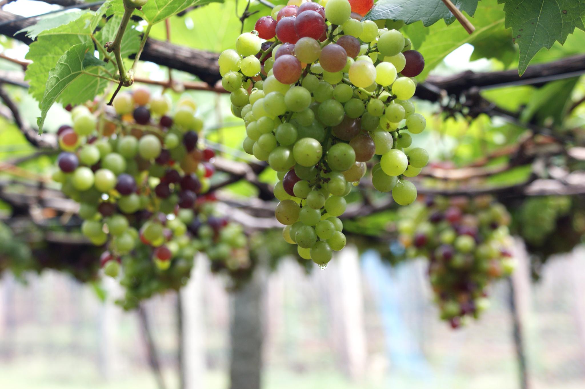 L'uva e i suoi utilizzi in cucina
