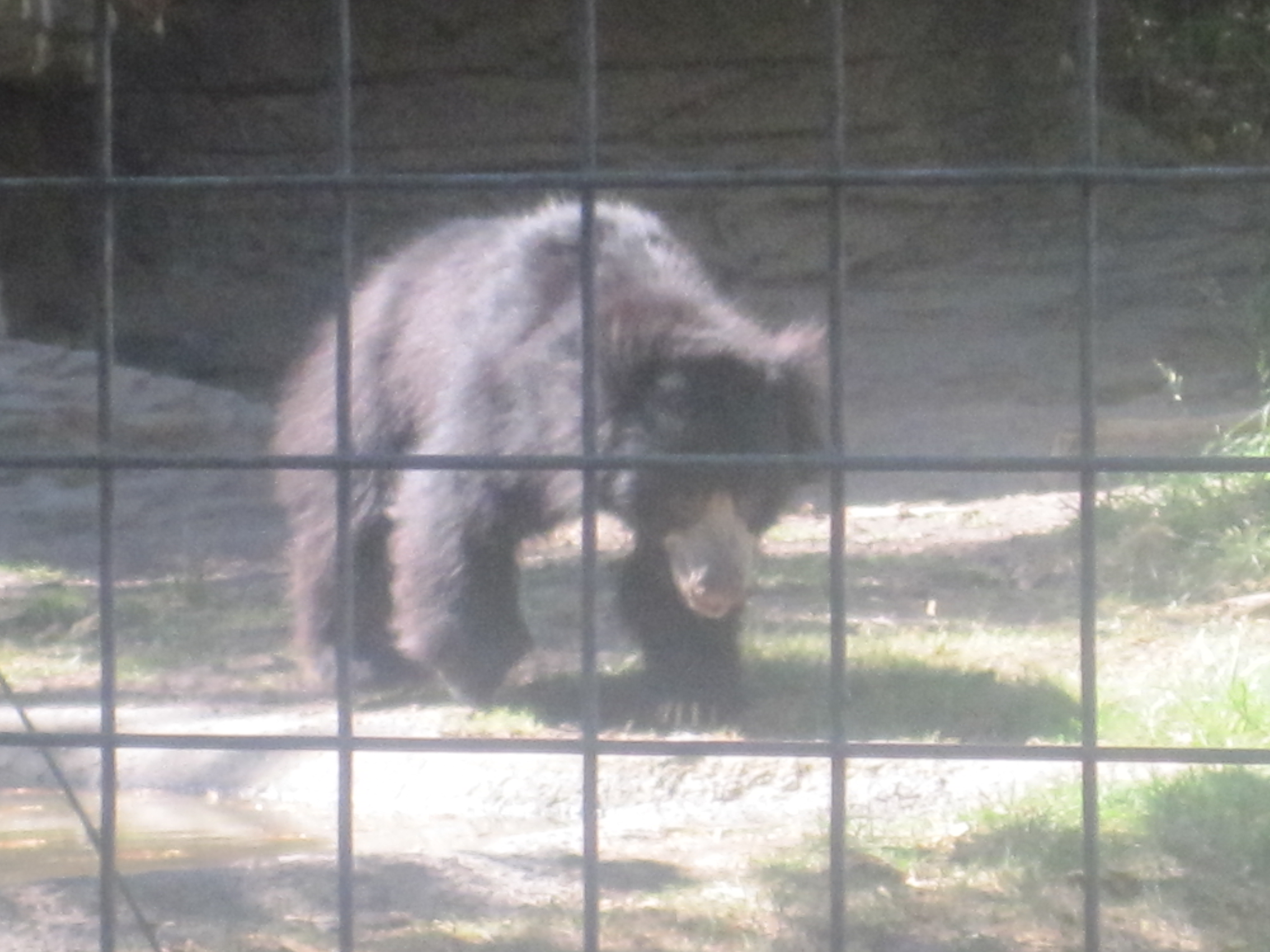 File Grizzly Bear At Lee Richardson Zoo Garden City Ks