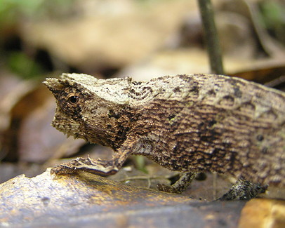 http://upload.wikimedia.org/wikipedia/commons/0/03/Ground_chameleon.jpg