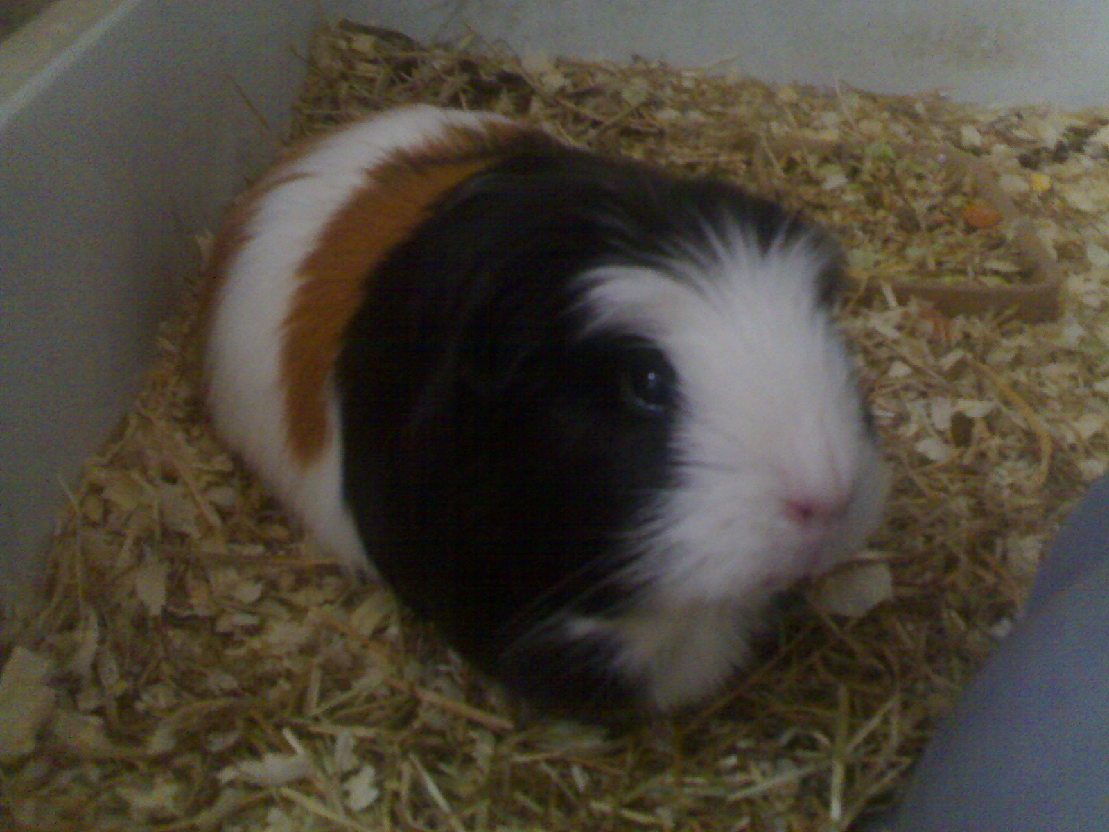 File guinea wikipedia for Guinea pig pictures free
