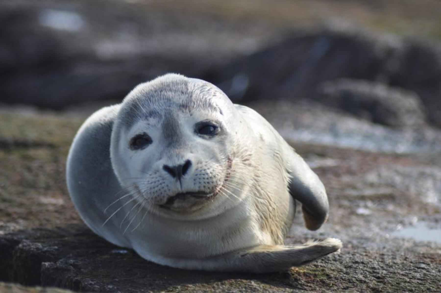 Baby seal in Sæberg