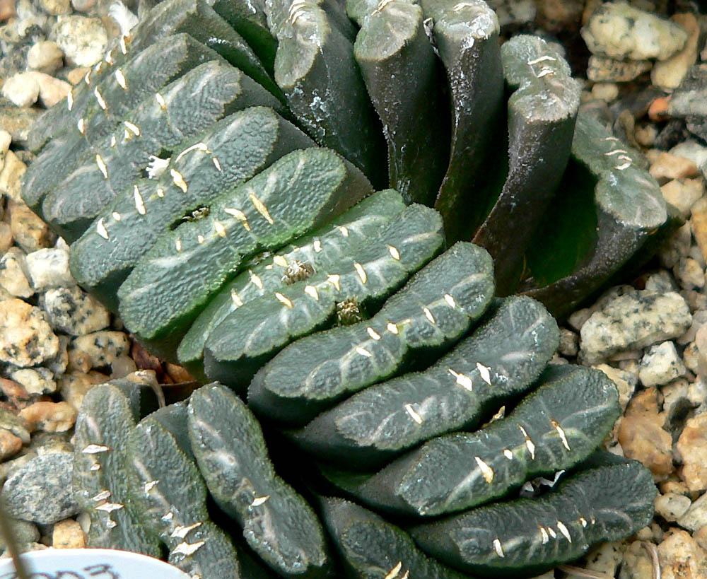Haworthia truncata Wikipedia