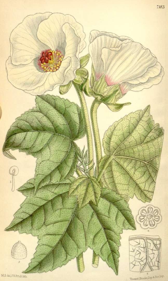 http://upload.wikimedia.org/wikipedia/commons/0/03/Hibiscus_indicus.jpg