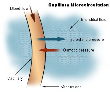 image Illu_capillary_microcirculation.jpg for definition side of card