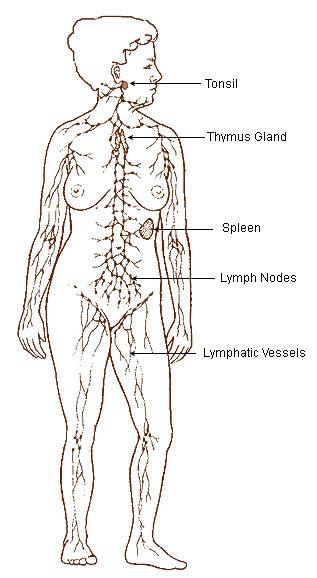 File:Illu lymphatic system.jpg
