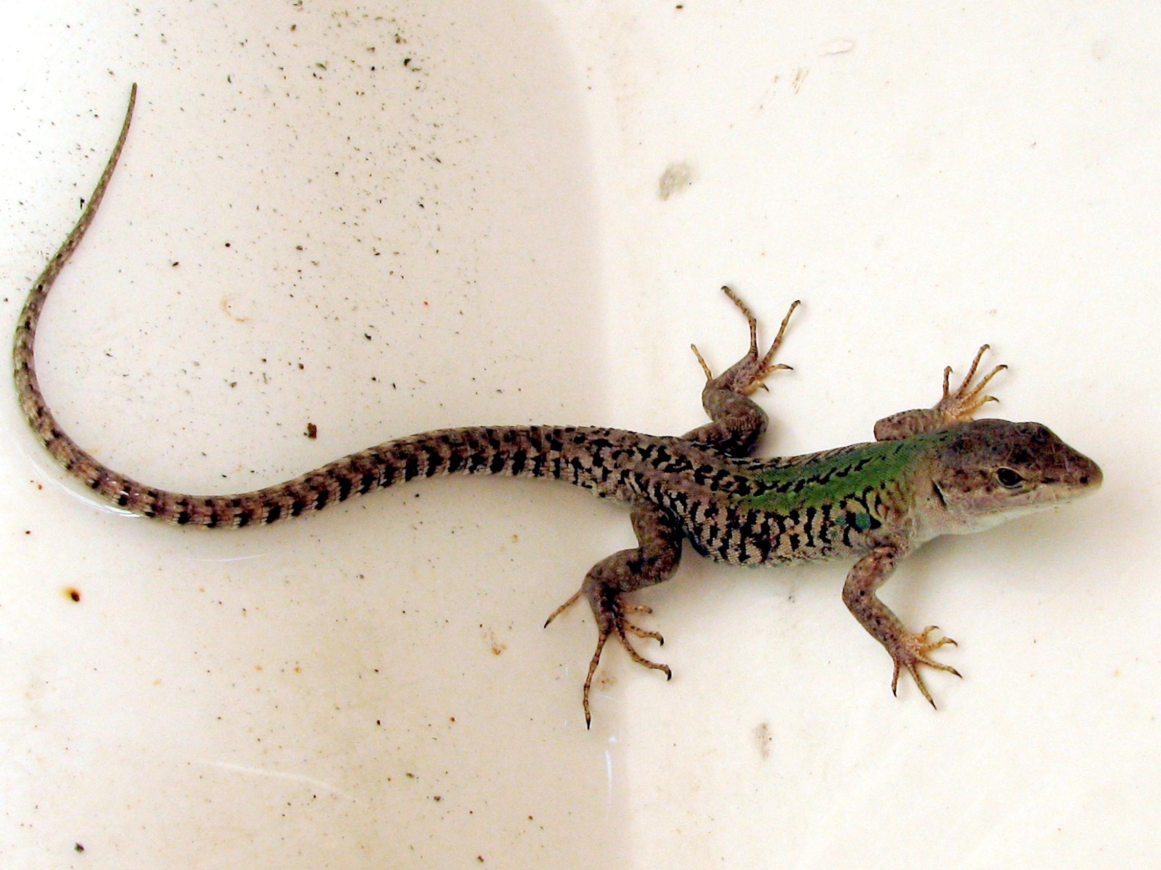 Italian Wall Lizard Natural Selection
