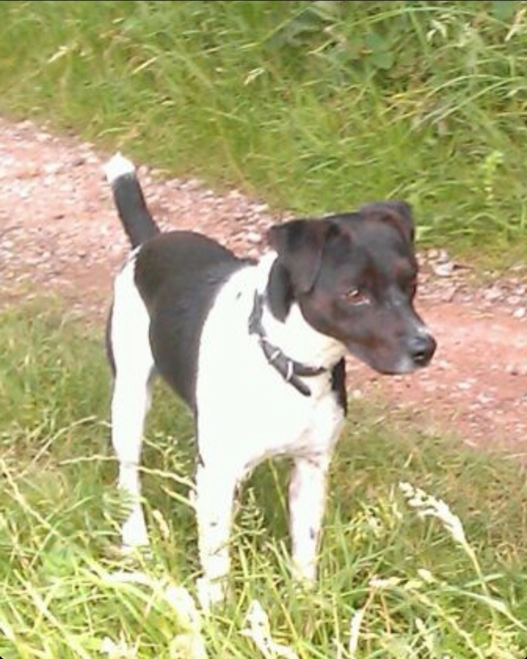 jack russell terrier black and white - photo #1