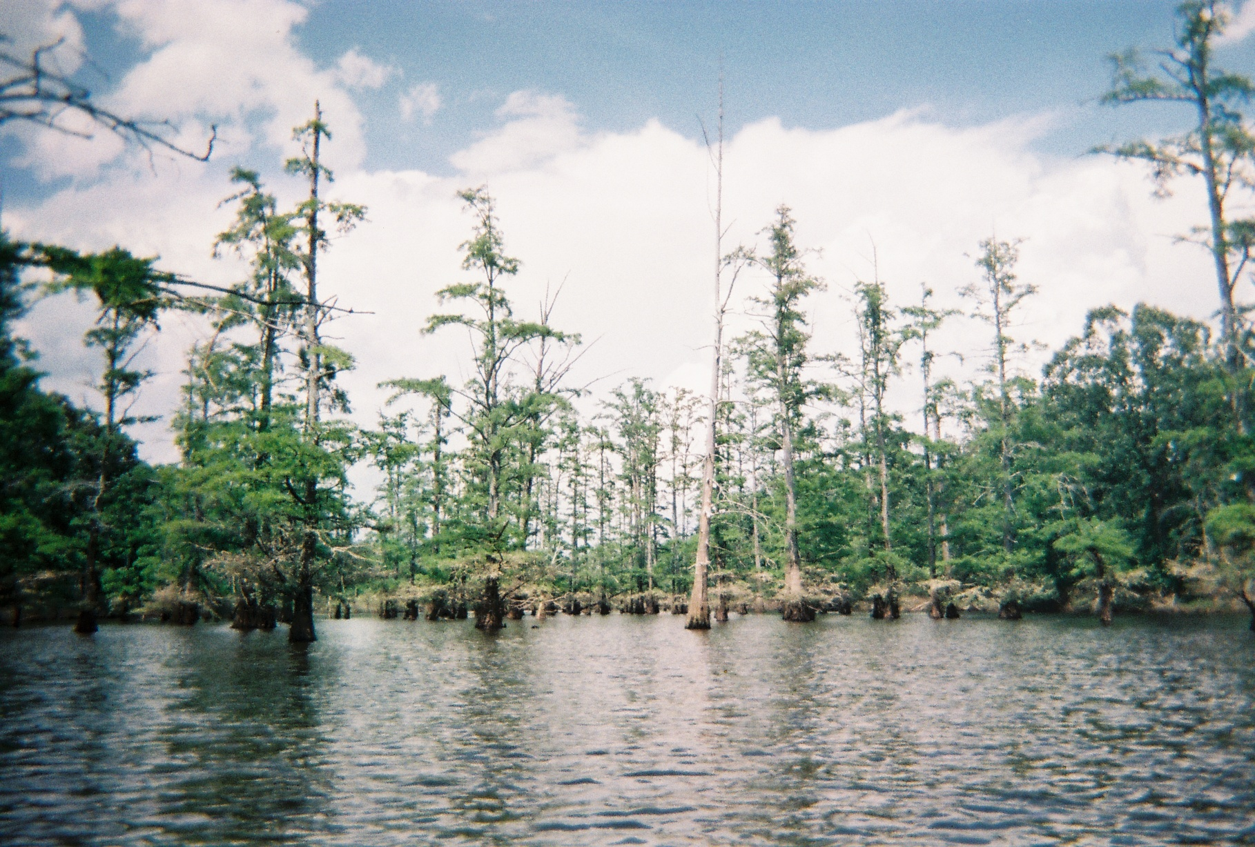 http://upload.wikimedia.org/wikipedia/commons/0/03/Kybaldcypress.jpg