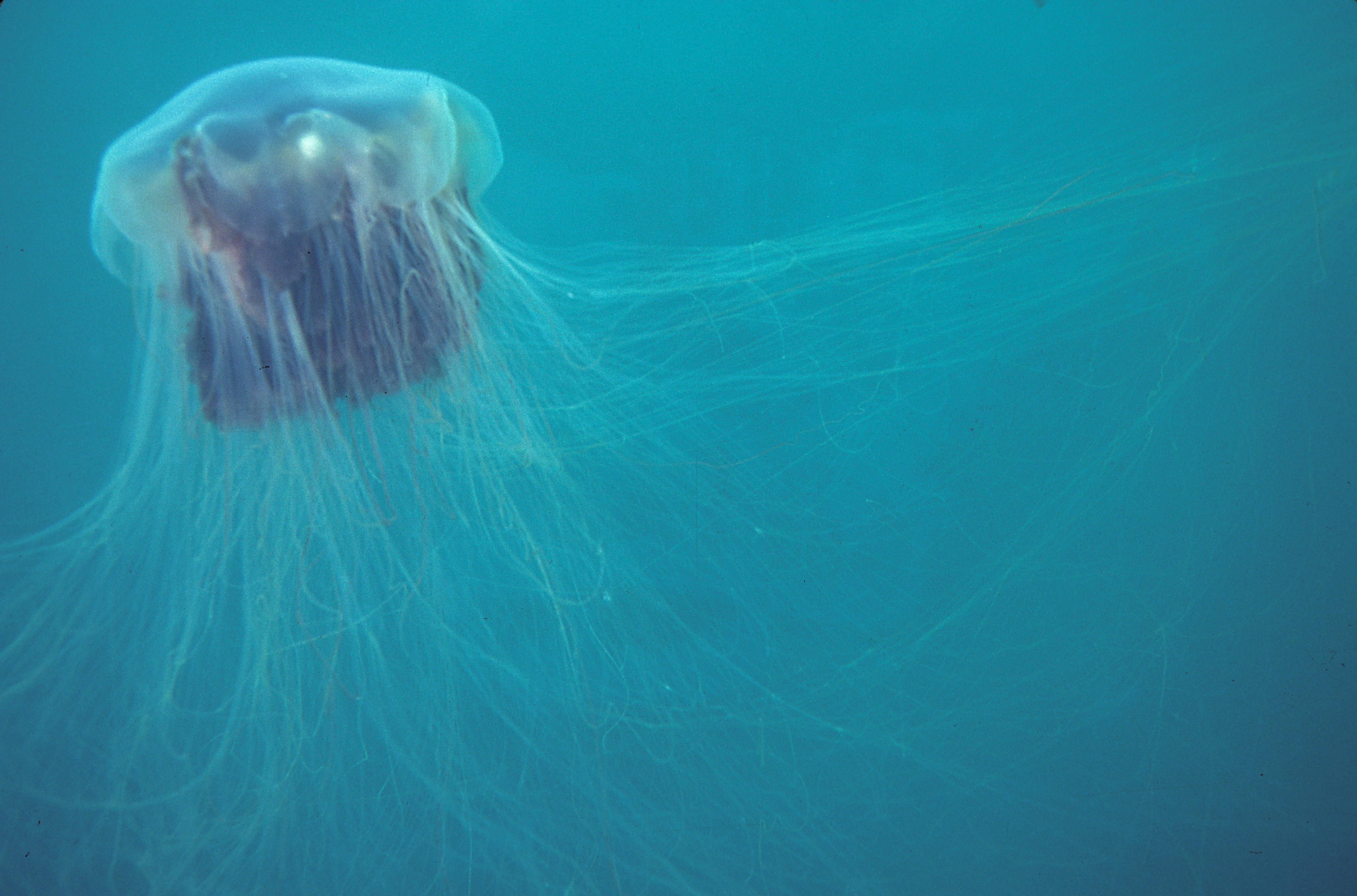 FileLionu0027s mane jellyfish or hair jelly Cyanea capillata the largest know & File:Lionu0027s mane jellyfish or hair jelly Cyanea capillata the ... Aboutintivar.Com