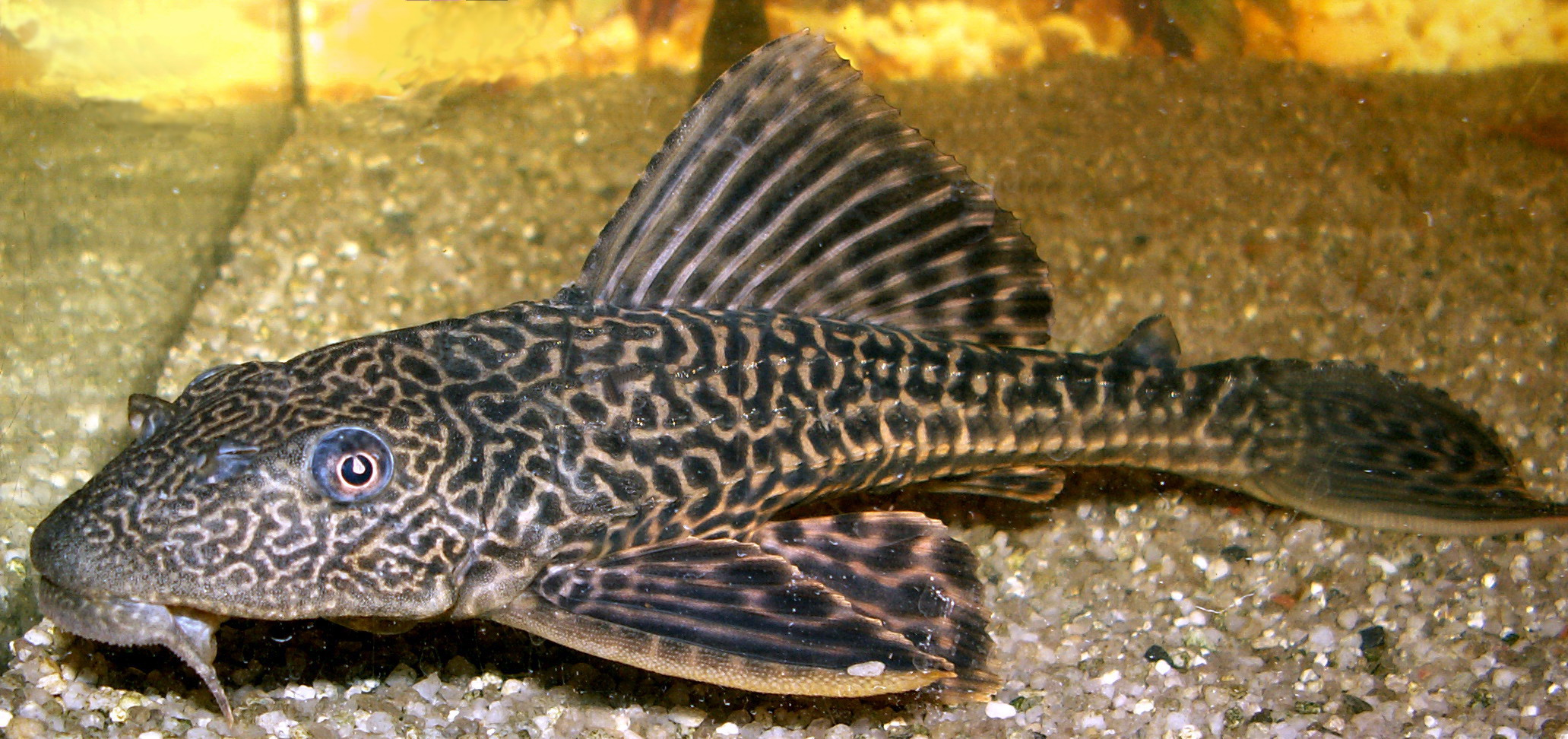 Google images for Sucker fish food