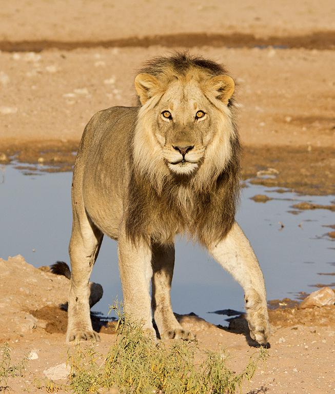 Kalahari lion - Wikipe...