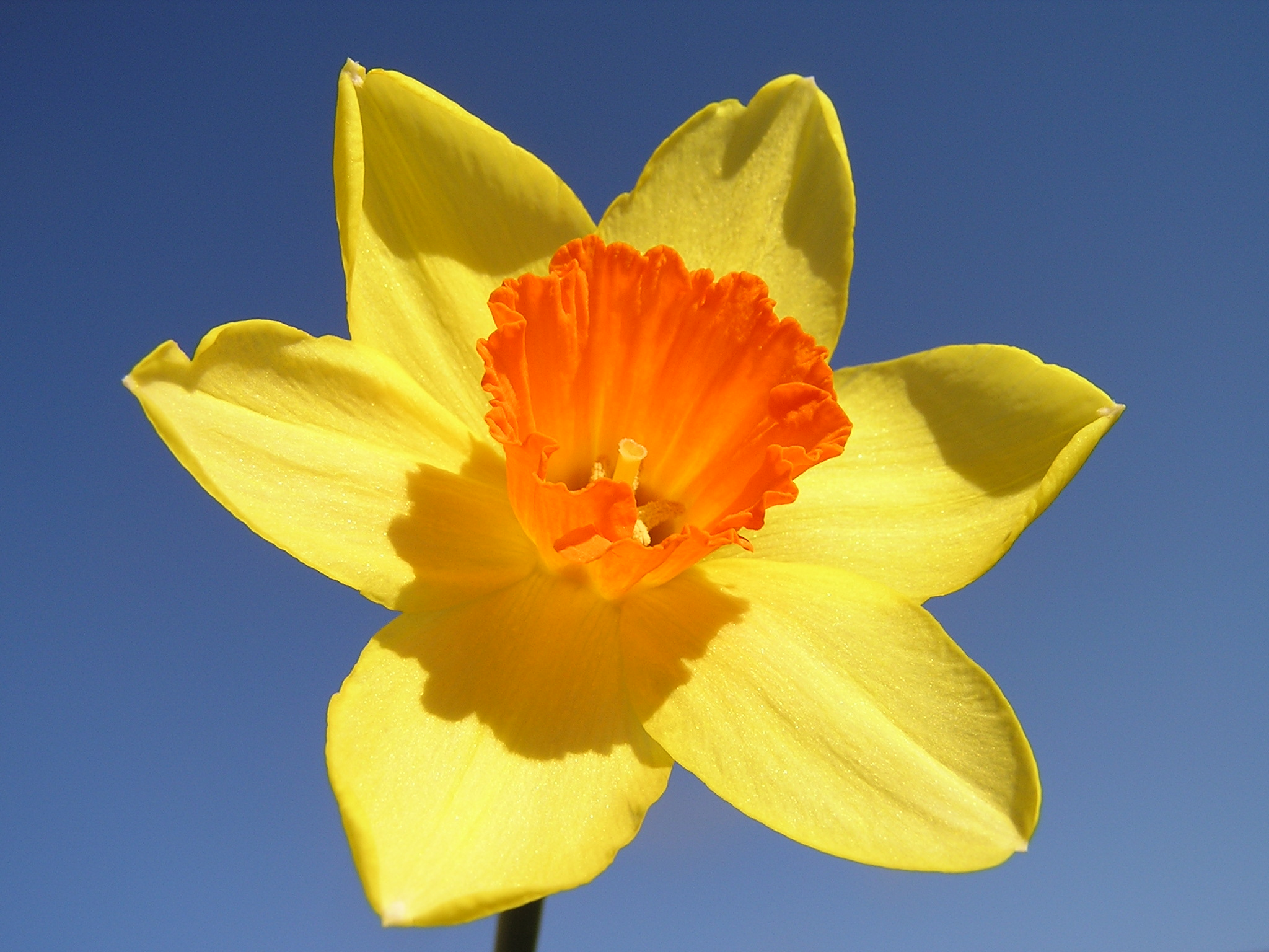 Flowersgold lessons tes teach narcissus plant wikipedia the free encyclopedia buycottarizona