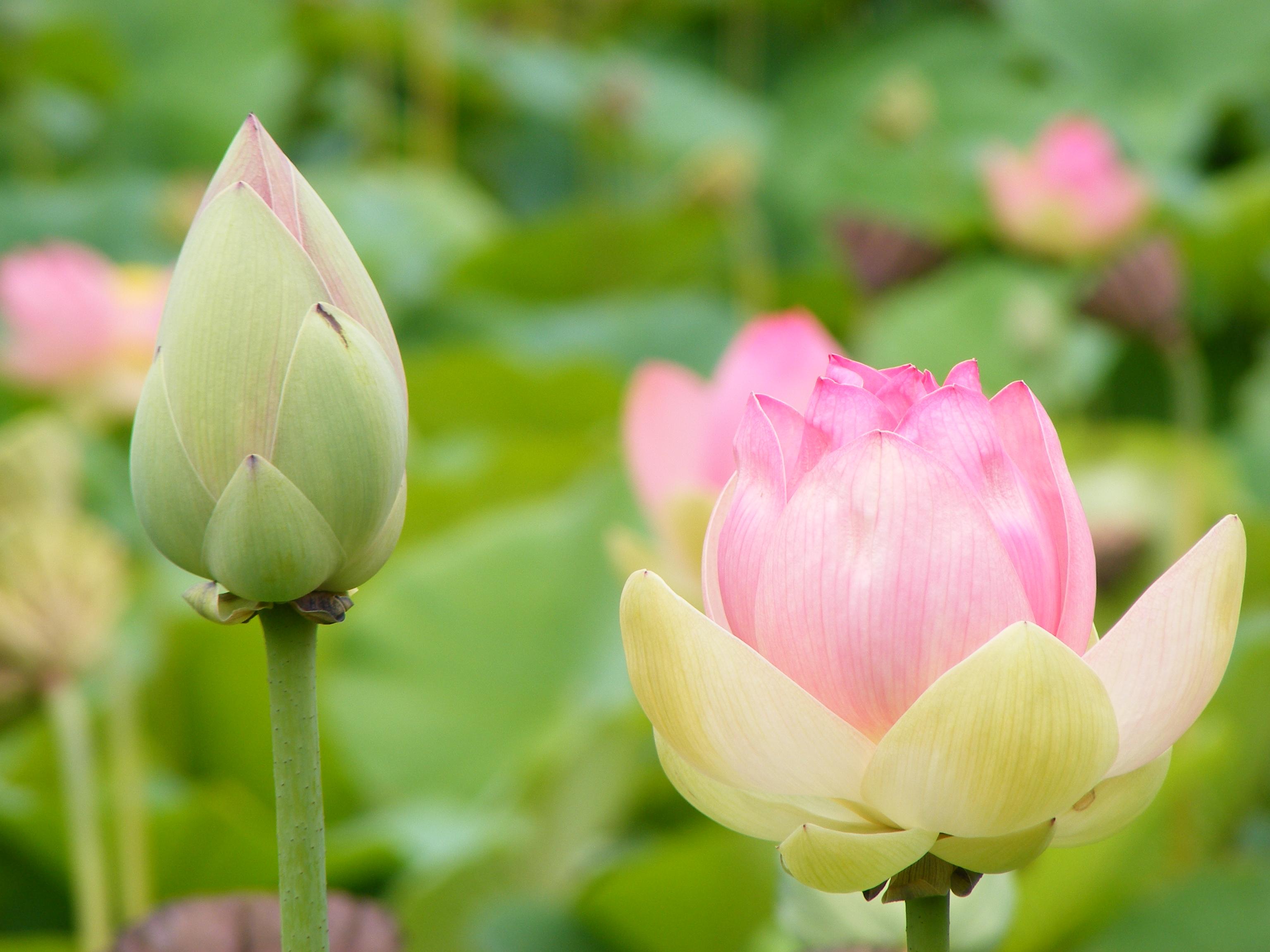 Filenelumno Nucifera Closedopen Flower Botanic Garden Adelaide