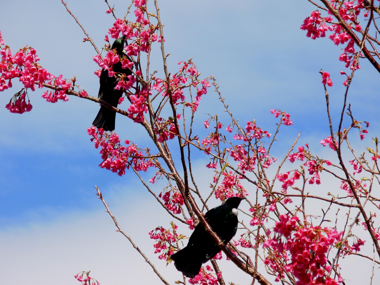 File Pair of tui in flowering tree