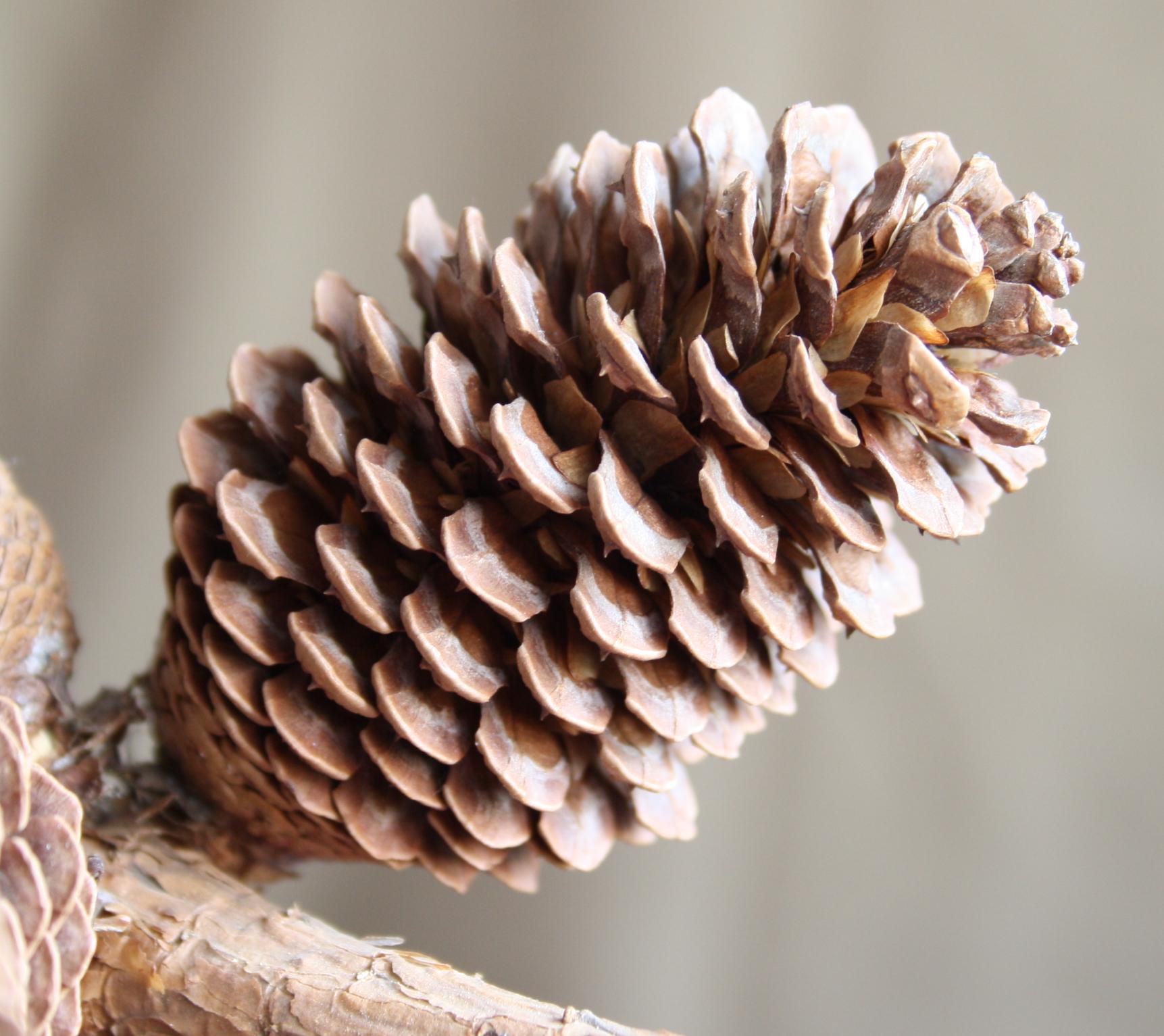 File Pine cone 1 Wikimedia mons