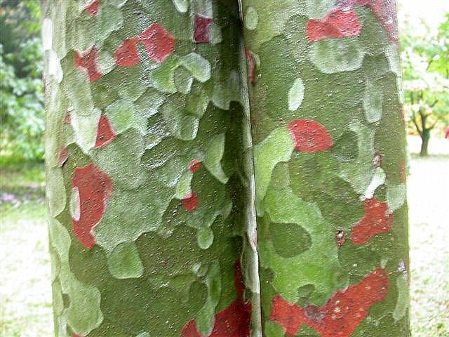 troncs de pin Napoleon