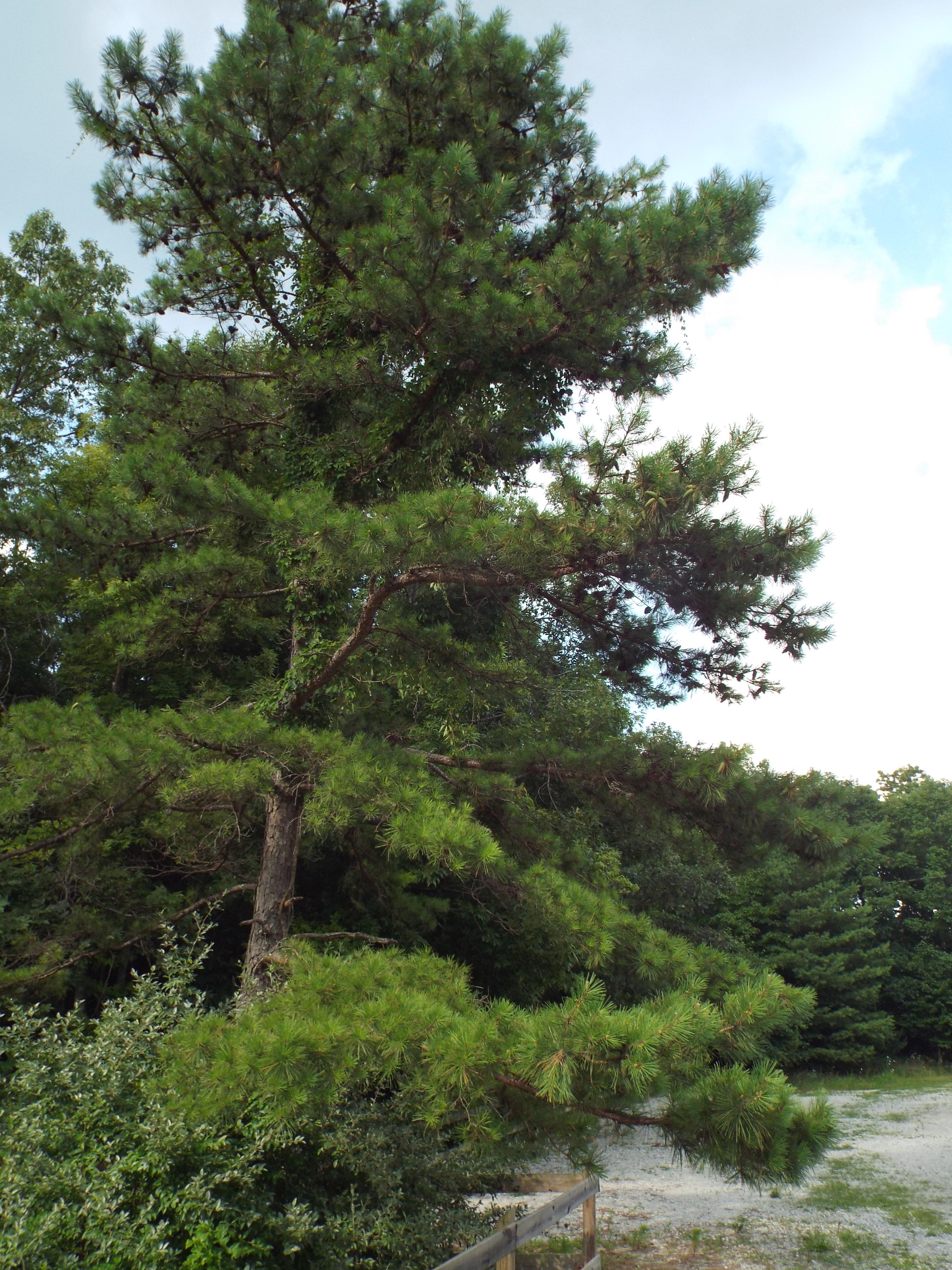 Pinus mugo  Wikipédia