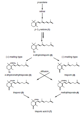 Postulated biosynthesis of trisporic acid B