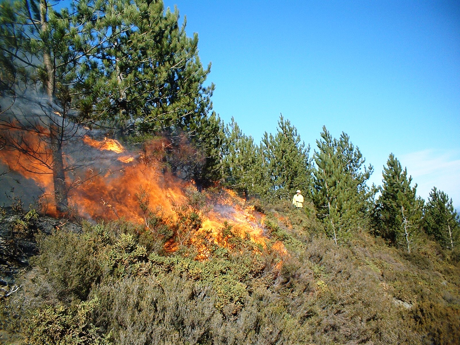 A prescribed burn in a Pinus nigra stand in Portugal