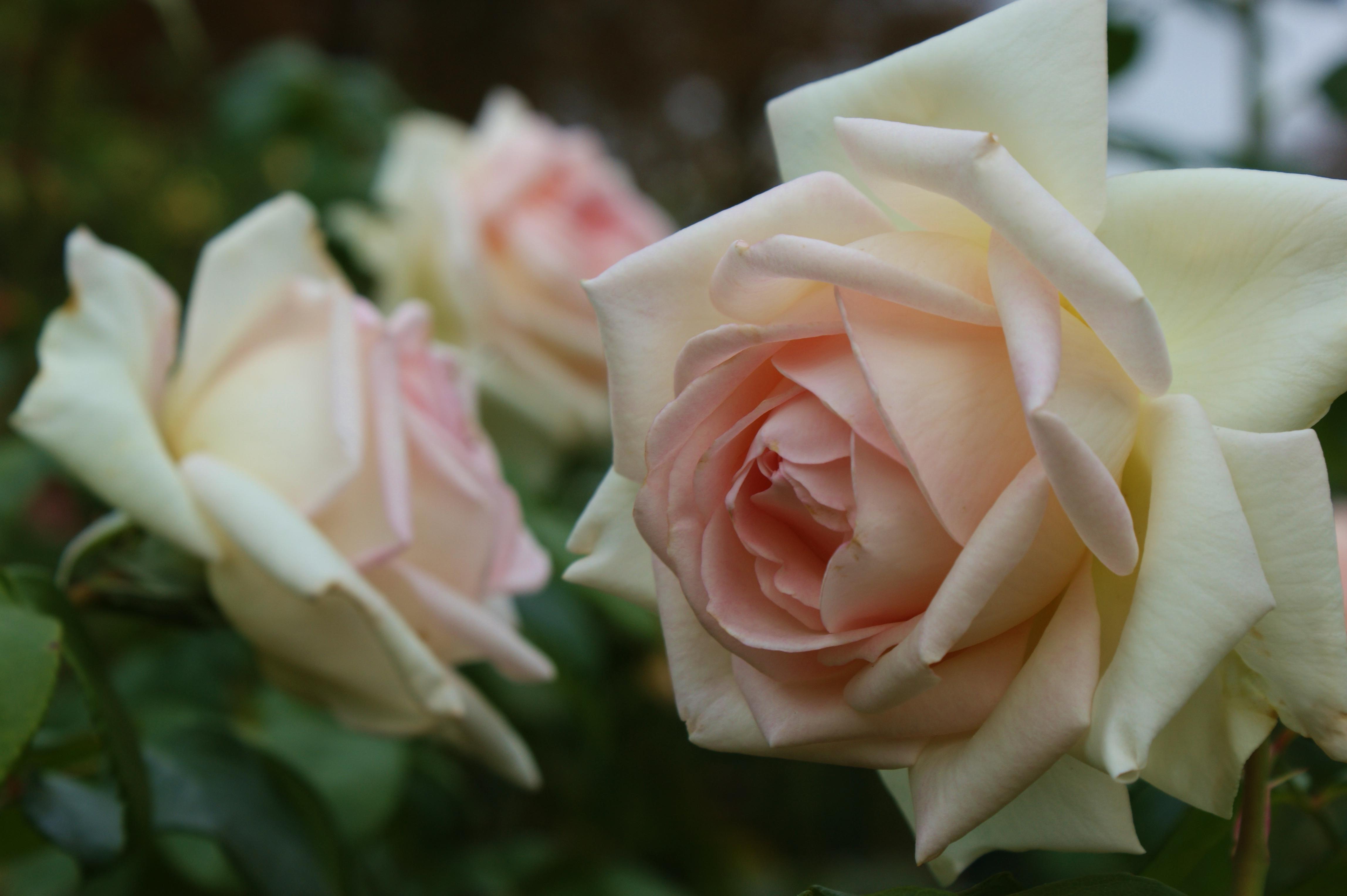 Роза prince jardinier