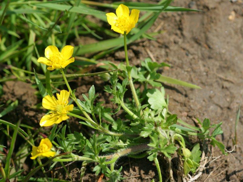 Ranunculus sardous