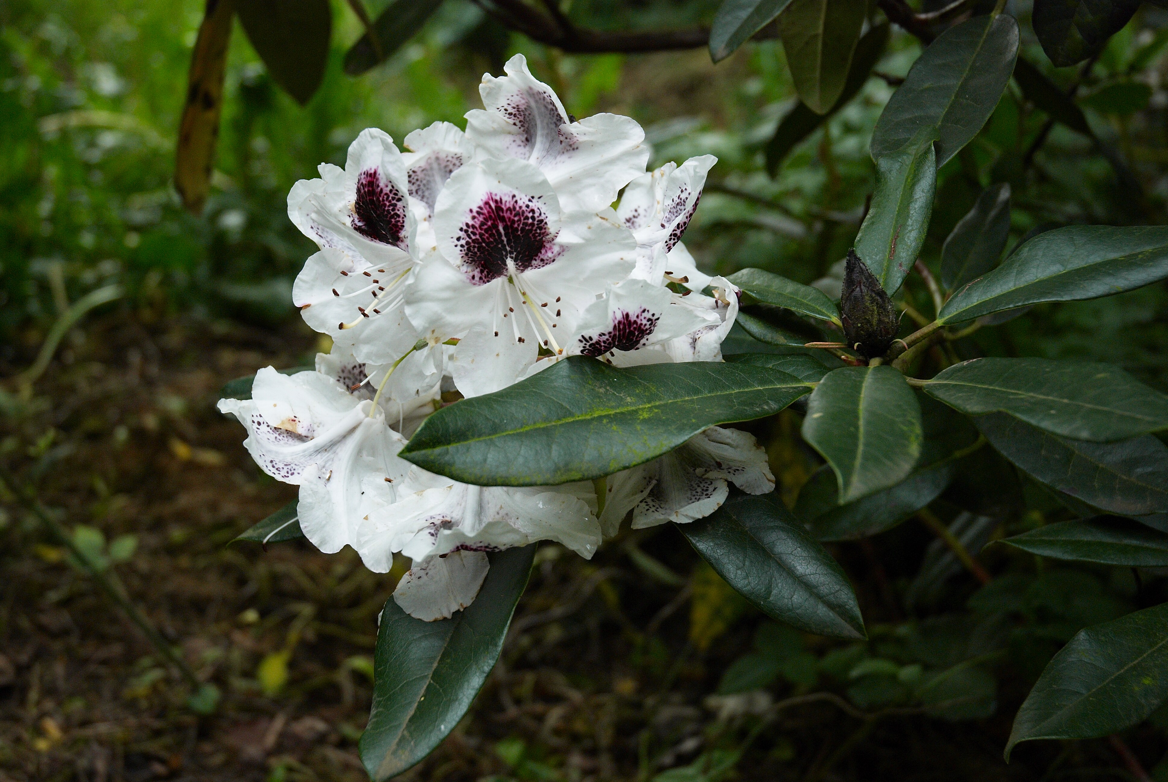 Sappho Rhododendron