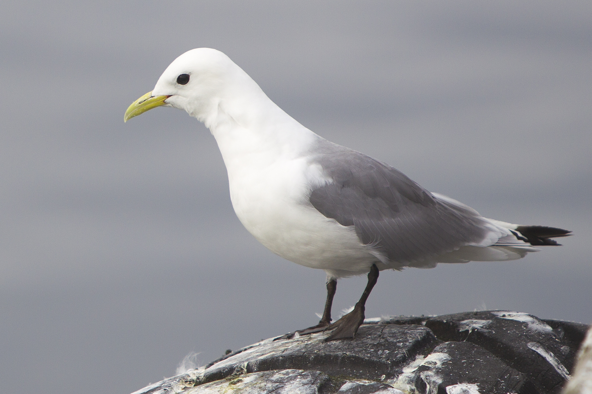 Hunting Black-legged Kittiwake in iceland