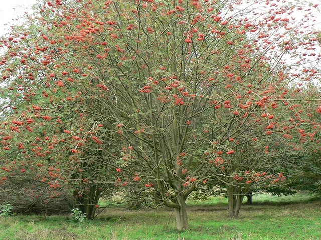 Rowan trees, laden with berries, Golden Acre Park - geograph.org.uk - 259286