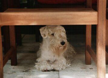 Sealyham terrier - Dog Scanner
