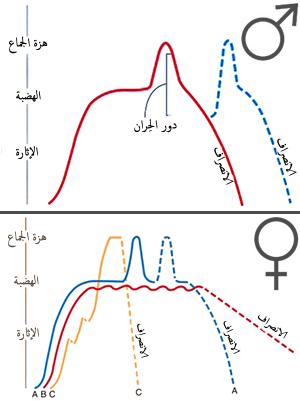 d317a7182797e دورة الاستجابة الجنسية البشرية - ويكيبيديا، الموسوعة الحرة