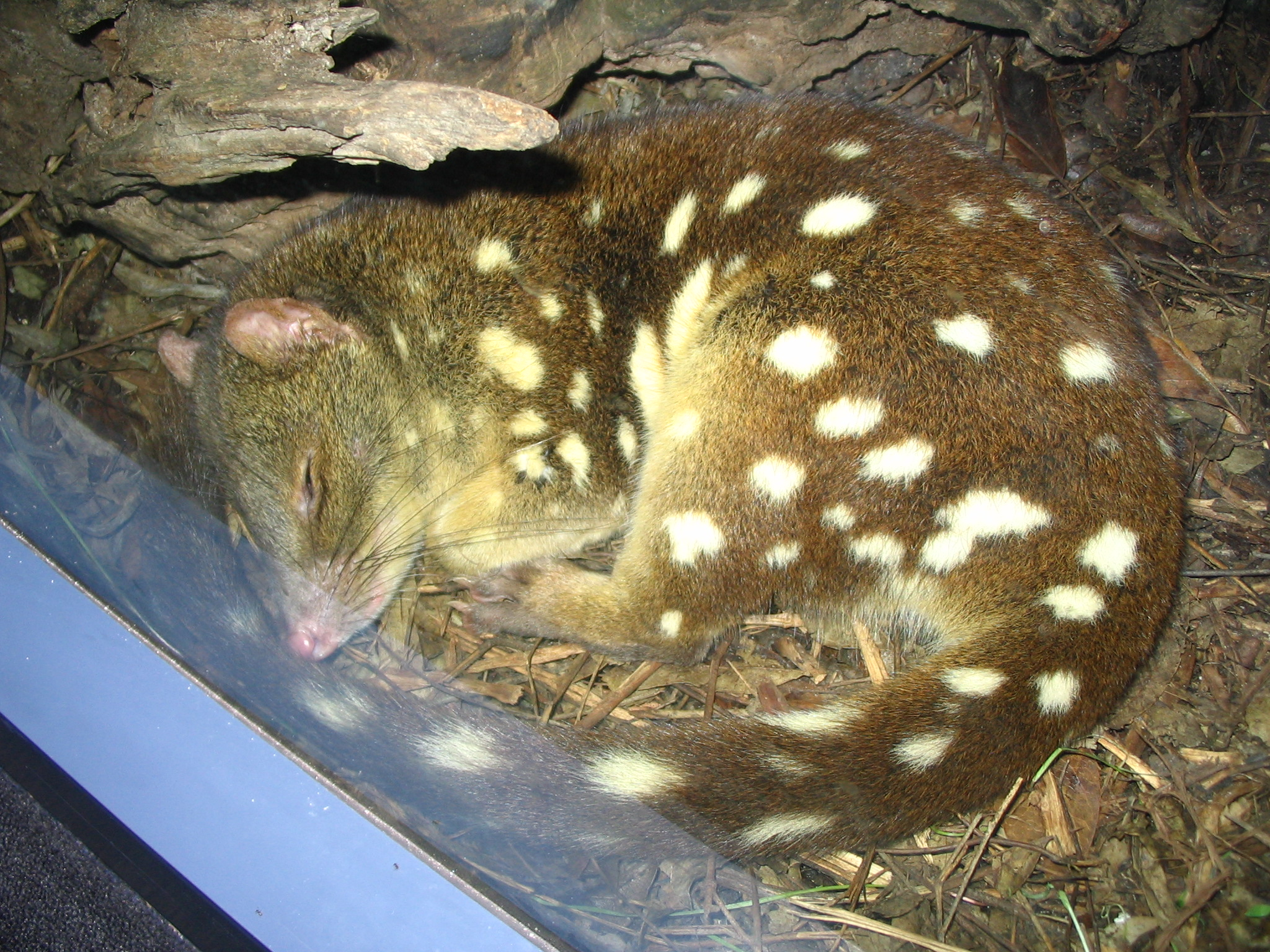http://upload.wikimedia.org/wikipedia/commons/0/03/Spotted-tail_quoll_sleeping_at_Sydney_Wildlife_World.jpg