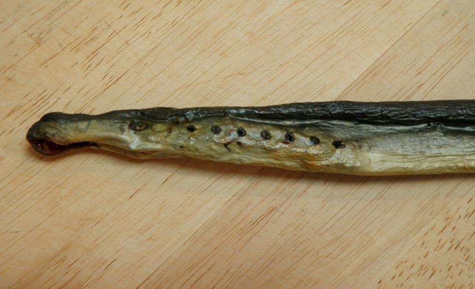 File Stockfish Of Arctic Lamprey Lethenteron Japonicum