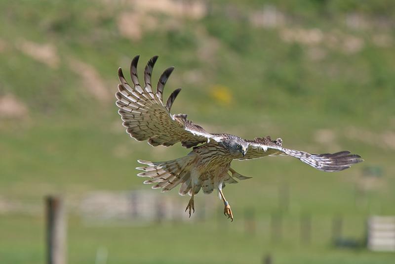 Nz Harrier Hawk Facts For Kids
