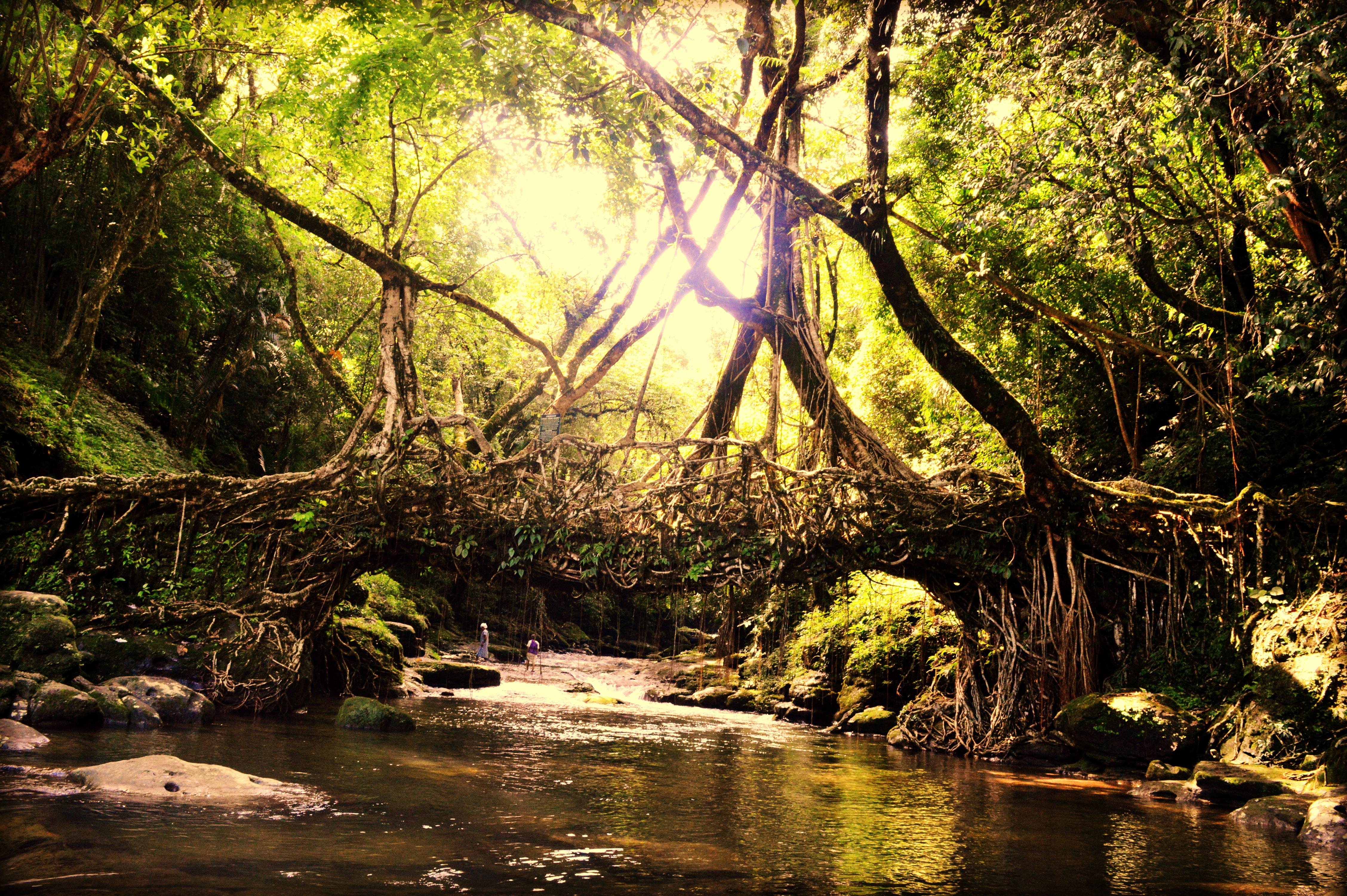 The Living Root Bridge in Meghalaya